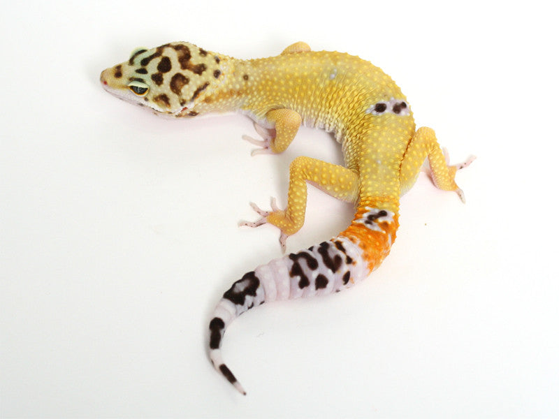 TUG Snow Halloween Mask Leopard Gecko - 072416 - female
