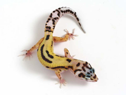 Halloween Mask R2 Bold Leopard Gecko -  042812b - female