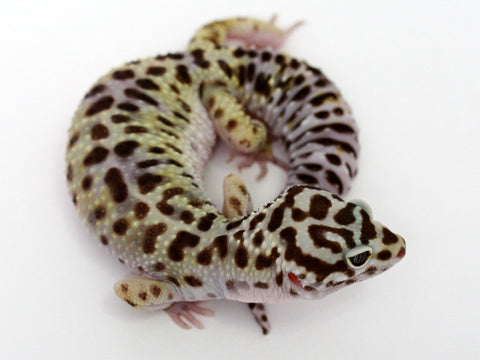 Extreme Halloween - Pure Halloween Mask Leopard Gecko - 051314 - female