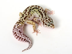 Extreme Halloween - Pure Halloween Mask Leopard Gecko - 062314 - female