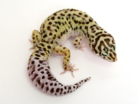 Pure Halloween Mask Leopard Gecko - 062815a - female