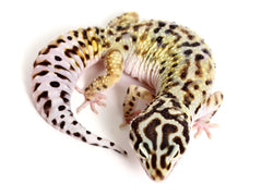 Pure Halloween Mask Leopard Gecko - 071215 - female