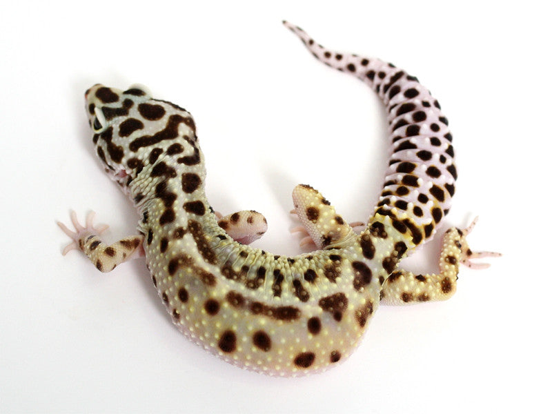 Pure Halloween Mask Leopard Gecko - 072015a - female