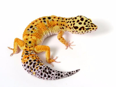 Halloween Mask Tangerine Leopard Gecko - 060615 - female