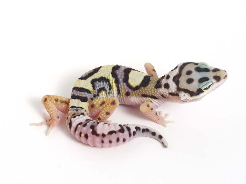 Halloween Mask R2 Bold Leopard Gecko -  040812  - female