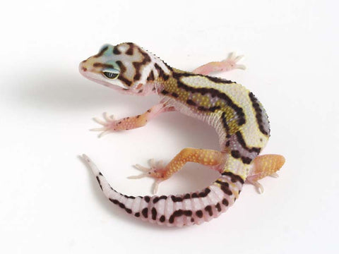 Halloween Mask R2 Bold Leopard Gecko -  040912 - female