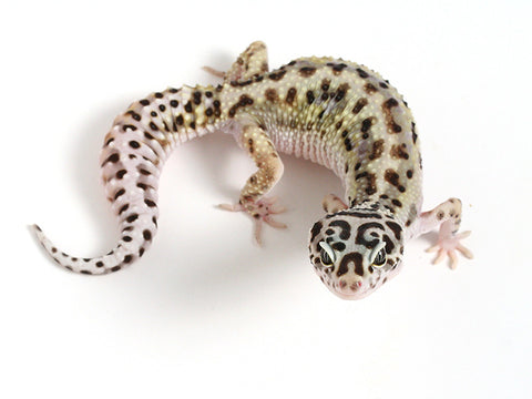 Extreme Halloween - Pure Halloween Mask Leopard Gecko - 062514 - female
