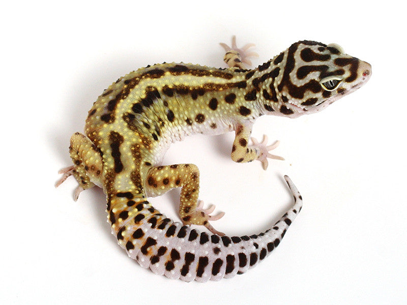 Extreme Halloween - Pure Halloween Mask Leopard Gecko - 080914a - female