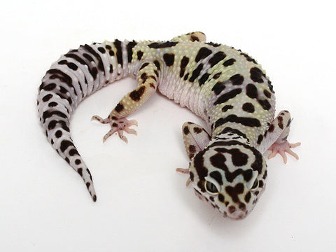 Halloween Mask X TUG Snow Leopard Gecko -  062313 - female