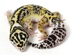 Bold Black & White - Halloween Mask X TUG Snow Leopard Gecko - 082213- Male