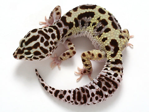 Halloween Mask X TUG Snow Leopard Gecko -  060811 - female