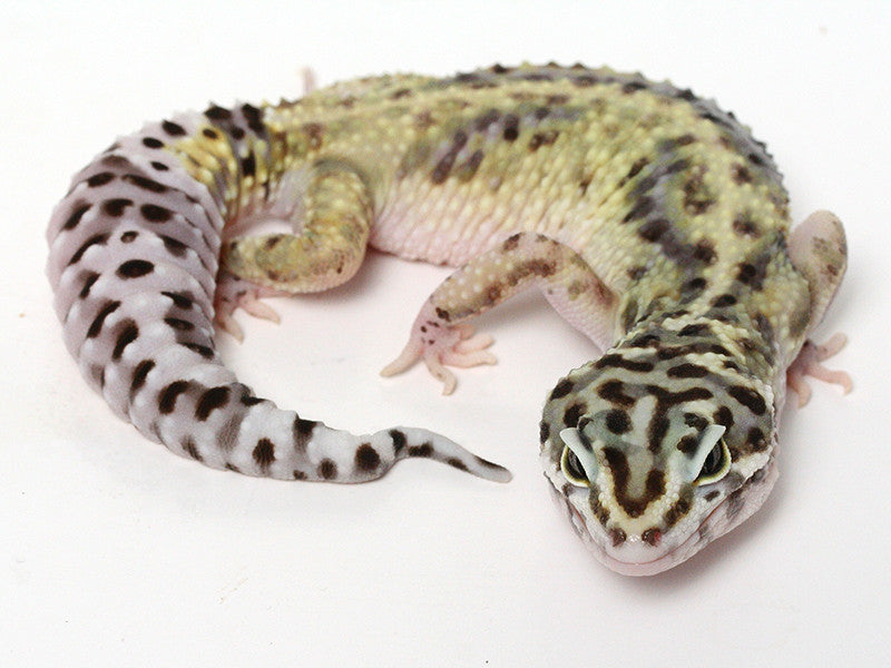 Bold Black & White - Halloween Mask X TUG Snow Leopard Gecko - 100513- Female