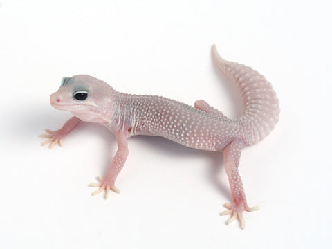 Patternless Super Snow het Las Vegas Albino Leopard Gecko - 100311b - female