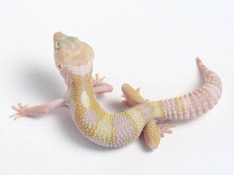 Phantom Leopard Gecko - Ph100211 - male