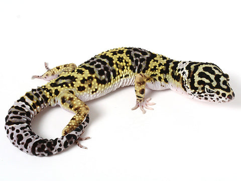 Bold Black & White - Halloween Mask X TUG Snow Leopard Gecko - 051114- Male