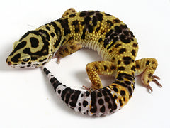Bold Black & White - Halloween Mask X TUG Snow Leopard Gecko - 061714- Male