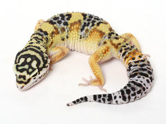 Bold Black & White - Halloween Mask X TUG Snow Leopard Gecko - 071614- Female