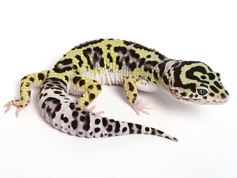 Bold Black & White - Halloween Mask X TUG Snow Leopard Gecko - 080414- Male