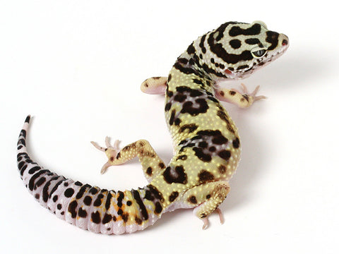 Bold Black & White - Halloween Mask X TUG Snow Leopard Gecko - 080914a- Female