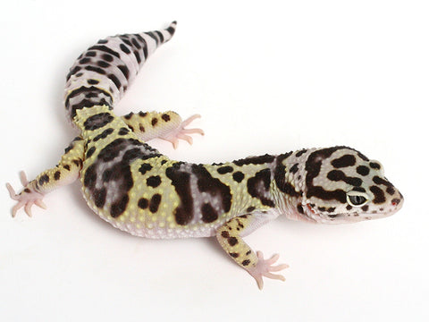 Bold Black & White - Halloween Mask X TUG Snow Leopard Gecko - 090514- Female
