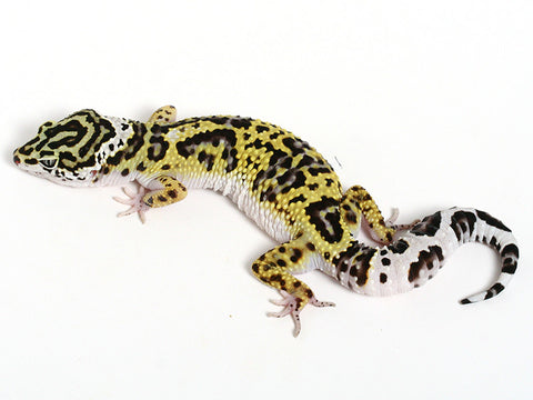 Bold Black & White - Halloween Mask X TUG Snow Leopard Gecko - 092014- Female