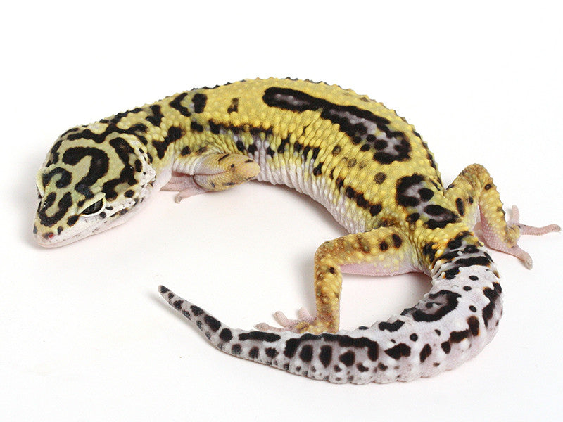 Bold Black & White - Halloween Mask X TUG Snow Leopard Gecko - 092714- Female