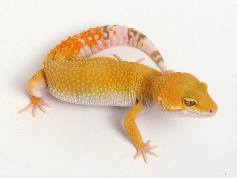 Sunglow Leoprd Gecko - 072213 - female