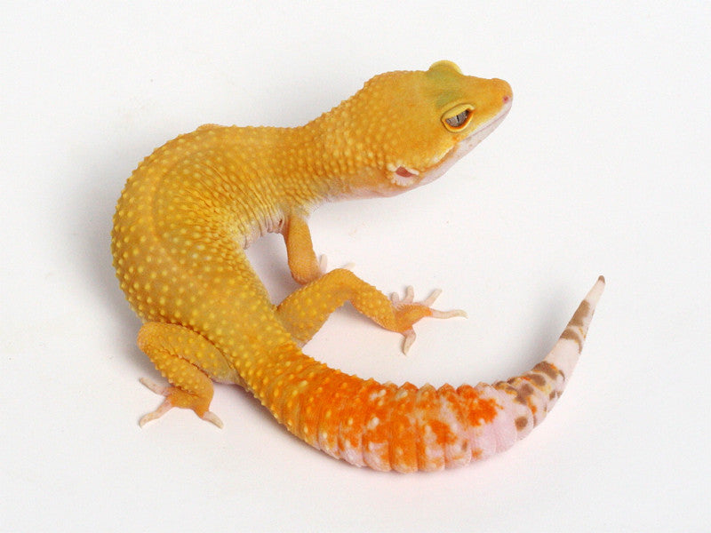 Sunglow Leoprd Gecko - 072313 - female