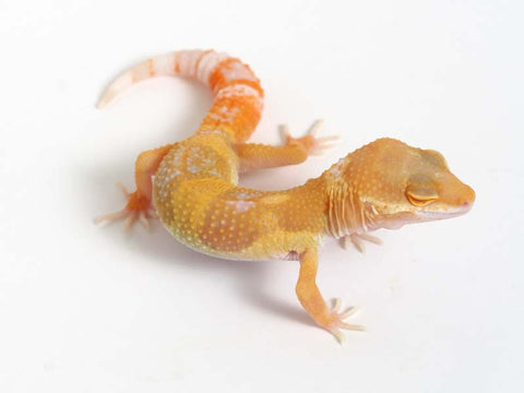 Sunglow Leopard Gecko - 03-041312b-male