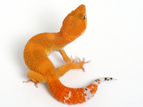 3 Tangerines - Gecko Group 2