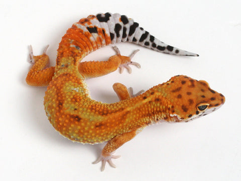4 Tangerines - Gecko Group 3