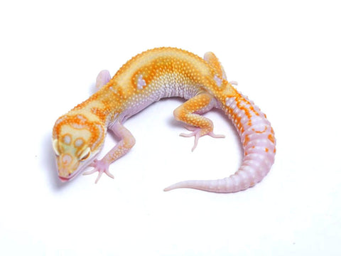Tremper Tangerine White and Yellow poss. het Raptor - 060517 - female