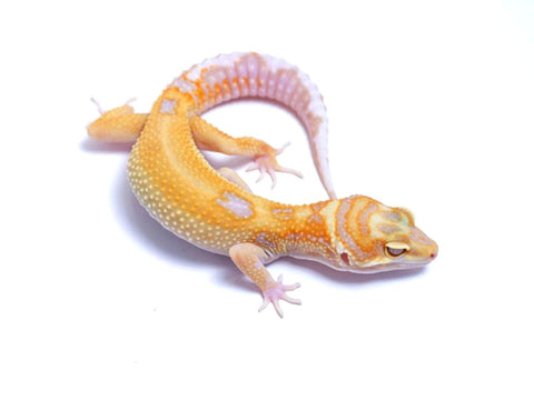 Tremper Tangerine White and Yellow poss. het Raptor - 060617 - female