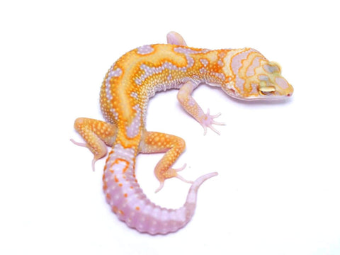 Tremper Tangerine White and Yellow poss. het Raptor - 060617b - female