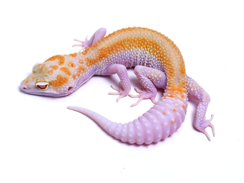 Tremper Tangerine Red Stripe White and Yellow poss. het Raptor - 061117 - female
