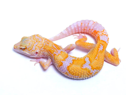 Tremper Tangerine White and Yellow poss. het Raptor - 061417 - female