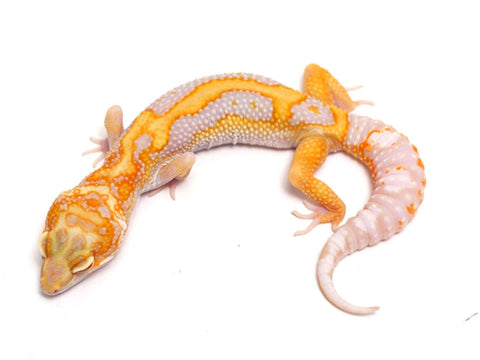 Tremper Tangerine White and Yellow poss. het Raptor - 061517 - female