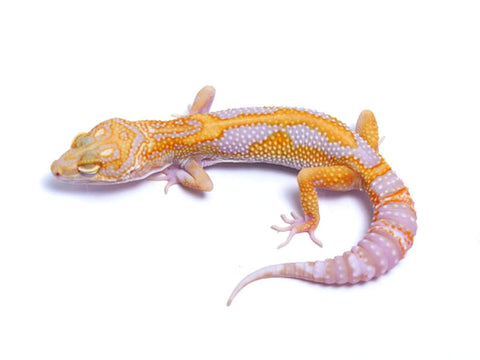 Tremper Tangerine White and Yellow poss. het Raptor - 061617 - female