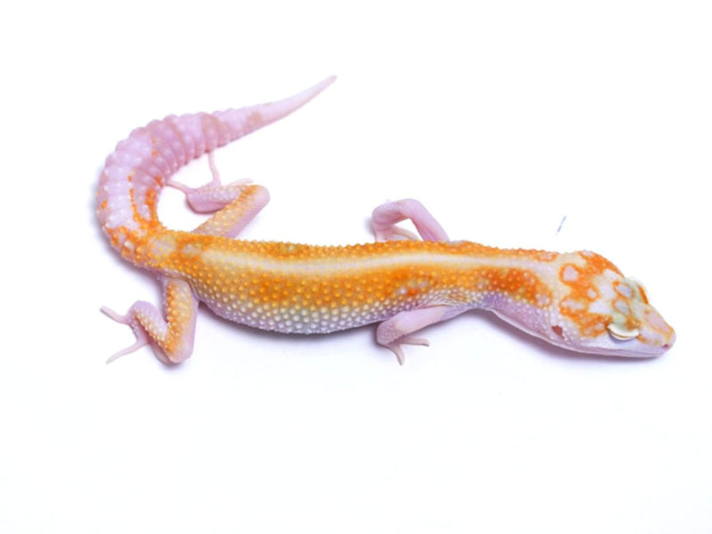 Tremper Tangerine Red Stripe White and Yellow poss. het Raptor - 070717a - female