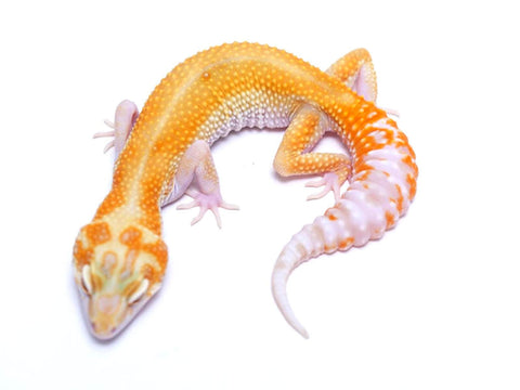 Tremper Tangerine White and Yellow poss. het Raptor - 070717b - female
