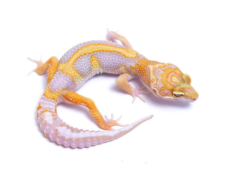 Tremper Tangerine White and Yellow possible het Raptor - 071417a - female