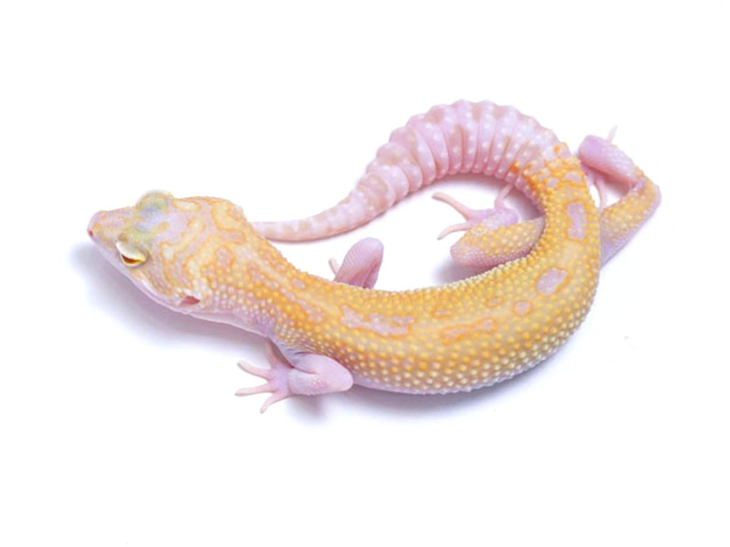 Tremper Tangerine White and Yellow with Snake Eyes - 071417b - female