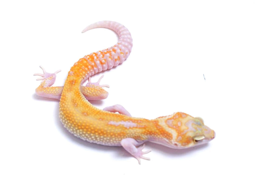 Tremper Tangerine White and Yellow Raptor - 080217 - female