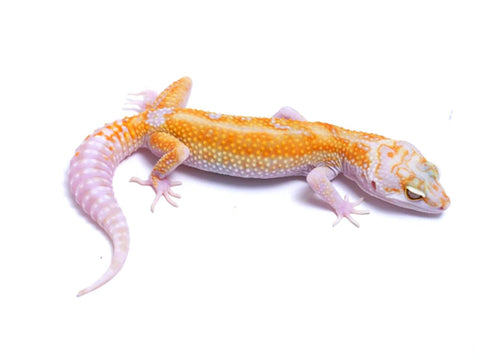 Tremper Tangerine White and Yellow poss. het Raptor - 081317a - female