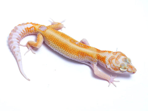 Tremper Tangerine Red Stripe White and Yellow poss. het Raptor - 081317b - female