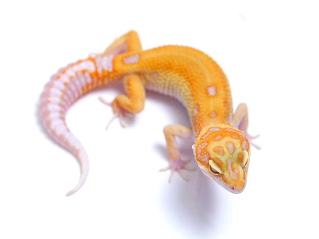 Tremper Tangerine White and Yellow poss. het Raptor - 081917a - female