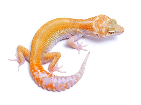 Tremper Tangerine White and Yellow poss. het Raptor - 081917b - female