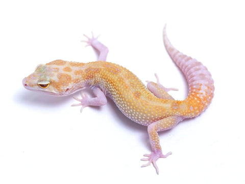 Tremper Tangerine White and Yellow with Snake Eyes - 090217b - female
