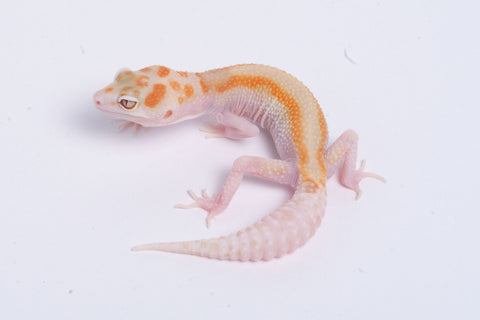 Tremper Tangerine Jungle White and Yellow Snake Eyed WYG4-082520A-Female