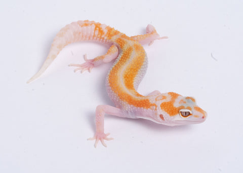 Tremper Tangerine White and Yellow Possible het Raptor-WYG5 - 092020- Male